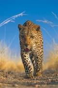 Primore. Zemlya leoparda. - wallpapers.